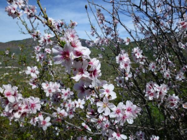 Mandelblüte Spanien